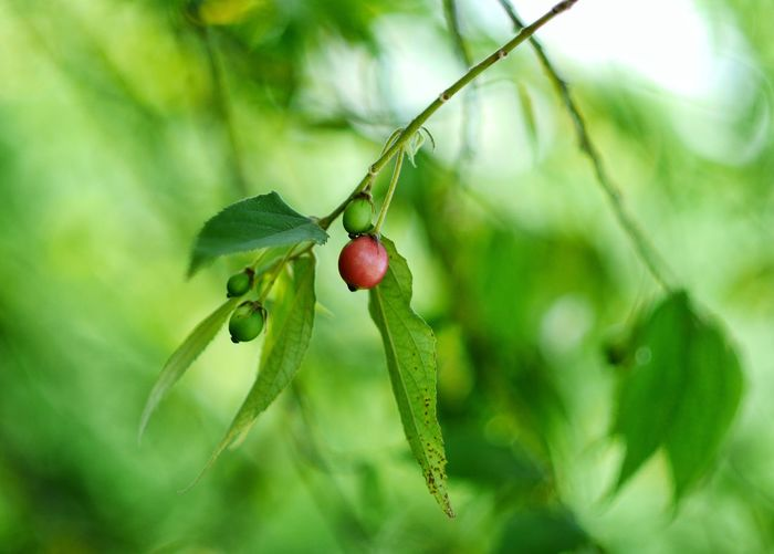 EyeEm Selects Tree Branch Fruit Leaf Red Hanging Close-up Plant Green Color Food And Drink Apple Tree Ripe Dew Apple Blossom Juicy Berry Orchard Rose Hip Unripe Berry Fruit Drop Apple Orange Tree Blossom Fruit Tree Blade Of Grass Pistil Twig
