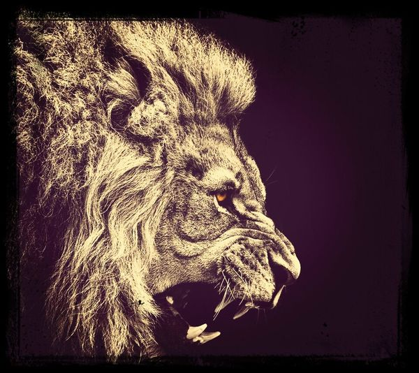 Lion Classic Best Animal Ever
