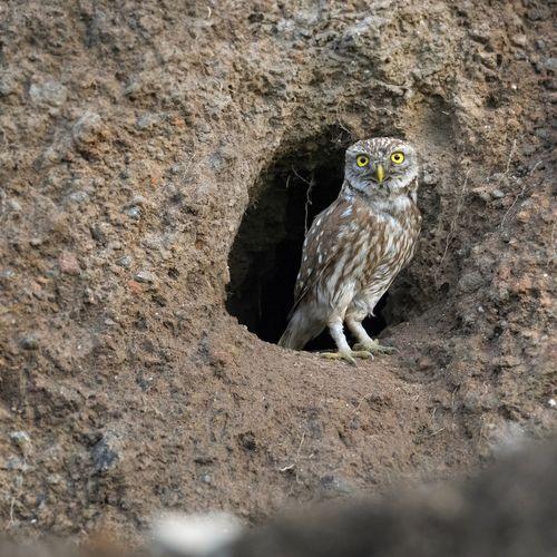 Portrait of owl perching on rock