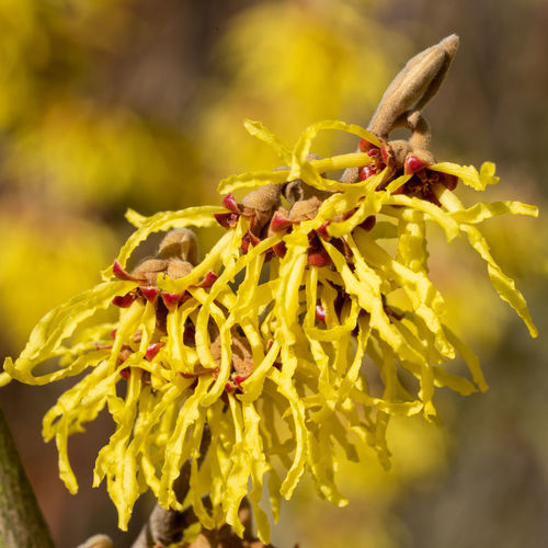Witch Hazel Hybride (Hamamelis intermedia), colours of spring Plant Flower Flowering Plant Growth Beauty In Nature No People Close-up Freshness Fragility Yellow Outdoors Flower Head Pollination Flora Garden Blooming Bloom Blossom Shrub Nature Witch Hazel HAMAMELIS Intermedia Spring Springtime Season