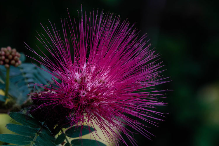 """Calliandra haematocephala, commonly called red powder puff, is an evergreen shrub or small tree native to Bolivia. It was formerly included in the legume or pea family, but has recently been shifted into the mimosa family. It typically grows 10-15' tall in its native habitat and is a very popular flowering shrub in central and southern Florida where it will survive year-round in the ground. Bipinnately compound leaves (5-10 pairs of leaflets per pinna) open copper-pink but mature to dark green. Raspberry-like flower buds open to hemispherical red powder puff flower heads (to 3"""" across) consisting of masses of scarlet stamens. http://www.missouribotanicalgarden.org/PlantFinder/PlantFinderDetails.aspx?kempercode=a493 Flower Beauty In Nature Close-up Flower Head Nature Calliandra Haematocephala EyeEm EyeEm Nature Lover"""