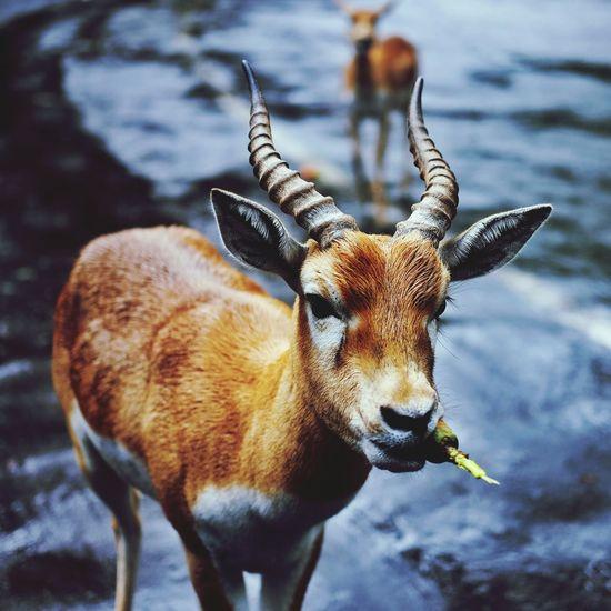 Close-up of antelope