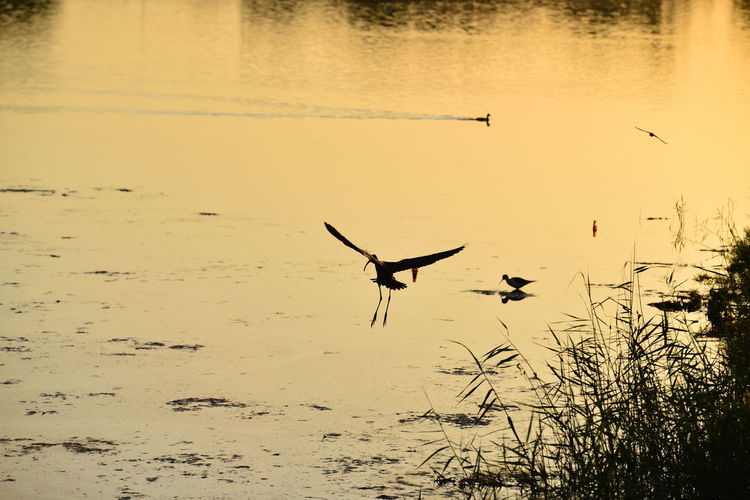 Animal Animal Themes Animal Wildlife Animals In The Wild Beach Beauty In Nature Bird Flying Lake Nature No People One Animal Outdoors Reflection Silhouette Spread Wings Sunset Tranquility Vertebrate Water