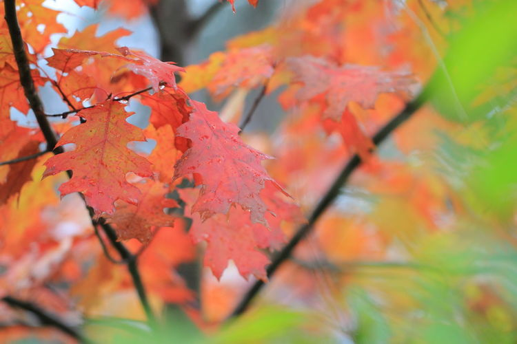 Autumn Northern Red Oak Quercus Rubra Red Red Leaves Tree Beauty In Nature Branch Fall Forest Growth Nature No People Orange Color Outdoors Selective Focus Shallow Focus Tranquility