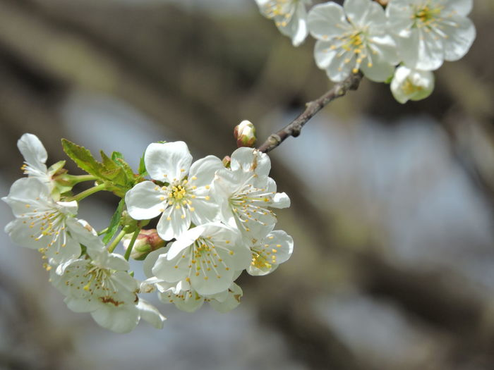 Flowering Tree Cherry Blossom Time Flower Plant Flowering Plant Growth Freshness Fragility Vulnerability  Beauty In Nature Petal Close-up White Color Focus On Foreground Flower Head Inflorescence Nature Tree Blossom Day Springtime Branch No People Cherry Blossom Pollen Outdoors Cherry Tree