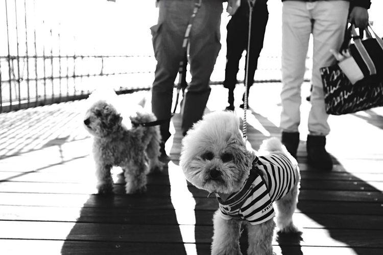 My Toypoodle Poodle Love Pet Date