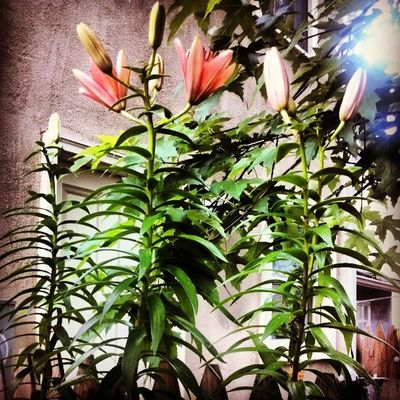 My Asiatic lillies, that I first had last year, are now back taller, and the flowers are just starting to open.....yay!