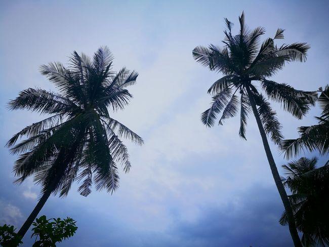 coconut trees Tree Coconut Blue Sky Nature ADIB2803 Huwawie P9 Huwaei Photography