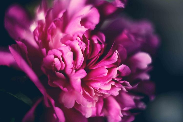 Flower Purple Nature Pink Color Plant Flower Head Beauty In Nature Petal Fragility Close-up Blossom No People Freshness Outdoors Peony  Day пионы лепестки розовое
