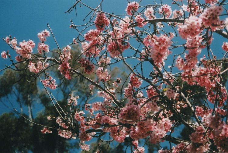 Low angle view of pink flowers blooming on tree