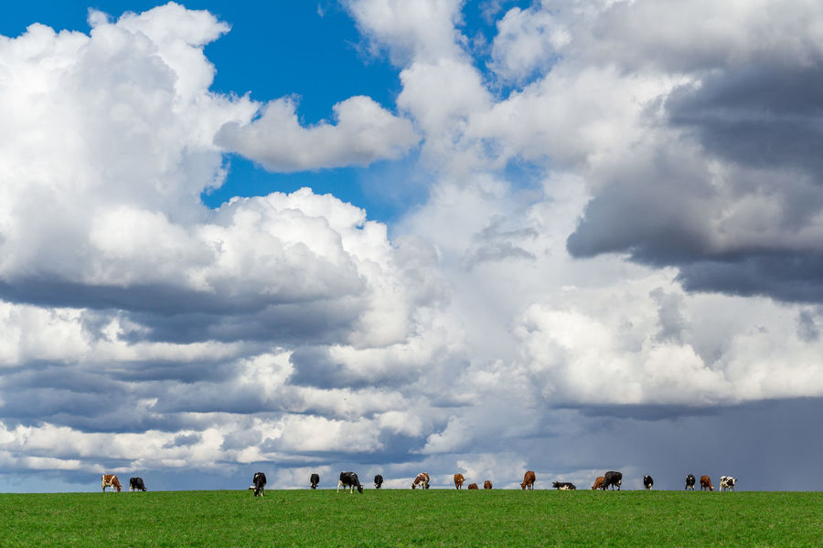 Cows below clouds Beauty In Nature Cloud Cloud - Sky Cloudscape Cloudy Cows Day Field Grass Grassy Green Color Idyllic Landscape Lifestyles Nature Non-urban Scene Outdoors Overcast Scenics Sky Tranquil Scene Tranquility Weather