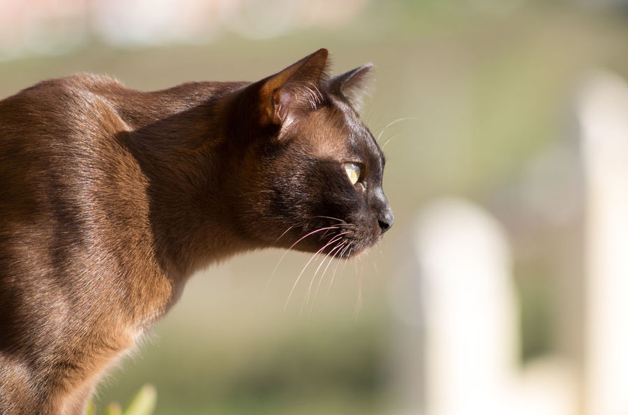 Animal Body Part Animal Head  Animal Themes Brown Brown Eyes Burmese Cat Close-up Domestic Animals Hunting Cat Looking Away Pets Whisker