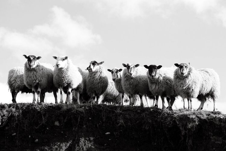 Livestock Animal Themes Domestic Animals Large Group Of Animals Mammal Sheep Sky Herd Outdoors Flock Of Sheep Nature Cloud - Sky Grass Beauty In Nature No People Pasture Day Lakedistrict Line Of Sheep Copy Space Black And White