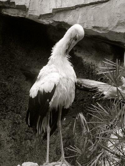 Animal Themes Beak Bird Black & White Blackandwhite Feather  Full Length Nature One Animal Outdoors Perching Side View White Color Wildlife Zoo Stork Storks