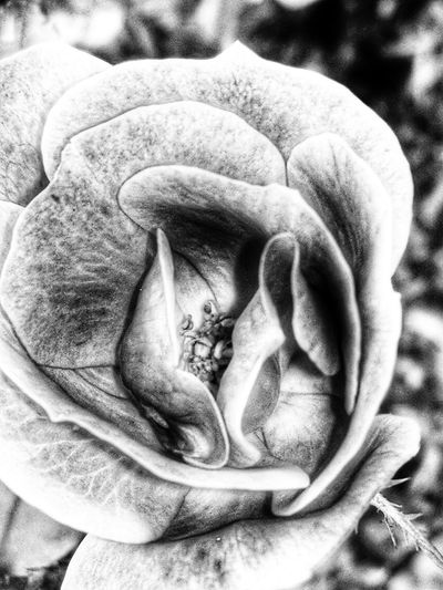 Flower Petals Nature Nature Photography Blackandwhite Bnw Springtime Flowers,Plants & Garden Nature_collection Nature In Black And White Florida Macro Flower Petal Close-up Single Flower In Bloom Focus Blooming Flower Head