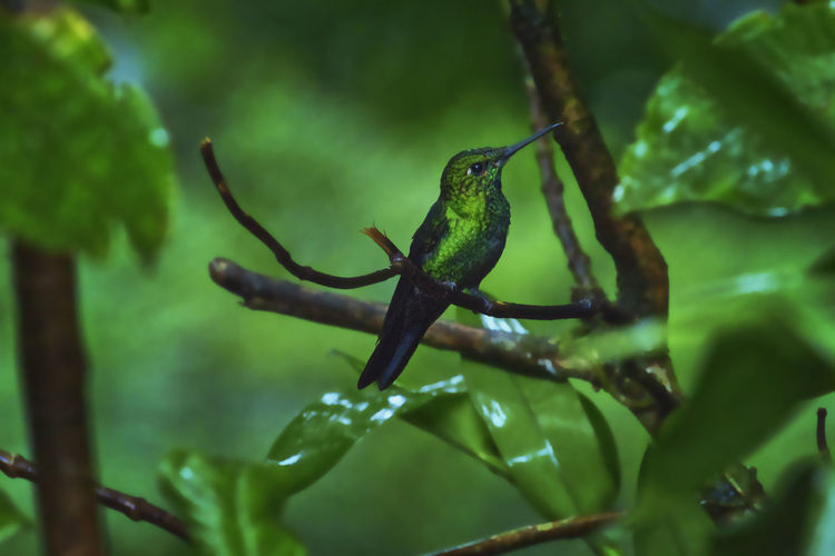 Green Crowned Brilliant Hummingbird Monteverde Cloud Forest Reserve Plant Green Color Animal Wildlife Plant Part Animal Nature Animal Themes Leaf Selective Focus Growth No People Animals In The Wild Vertebrate Branch Tree Close-up Day One Animal Beauty In Nature Outdoors Leaves
