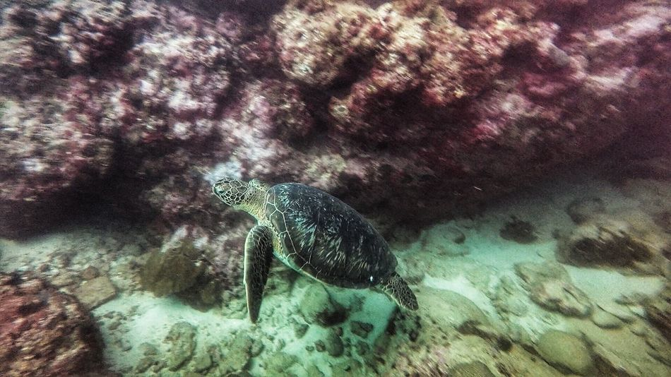 The Turtle underwater photography Seeturtles Turtles Belle Mare Plage Belle Mare Mauritius Island  Mauritius Sea Water Animals In The Wild Animal Wildlife Animal UnderSea Underwater