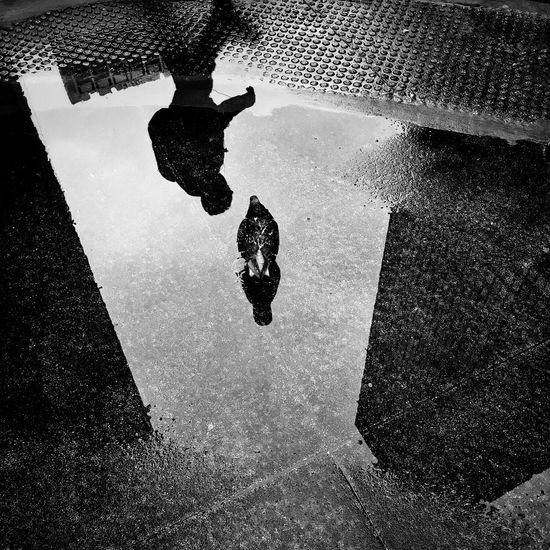 Puddle partners Blackandwhite Streetphotography Chicago Bird Pigeon Water Reflection Puddle High Angle View Nature Wet Street Rain City