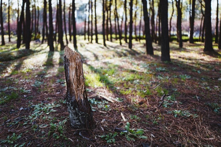 Tree Trunk Forest Tree WoodLand Nature Focus On Foreground No People Tree Stump Tree Area