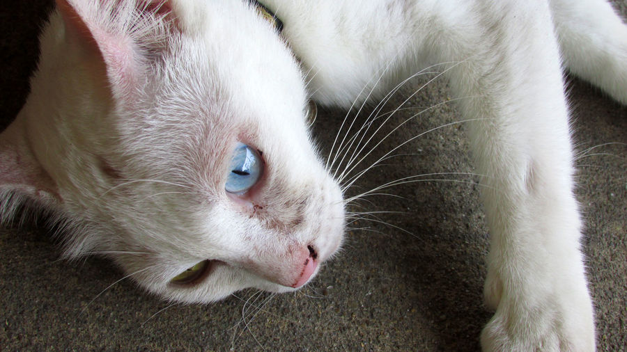 Domestic Animal One Animal Pets Animal Themes Domestic Animals Mammal Cat Domestic Cat Feline Animal Body Part Close-up White Color Vertebrate Relaxation Whisker No People Animal Head  High Angle View Looking Animal Eye White White Cat Lovely Cute Pets Cute Cute Cats Breed Heredity