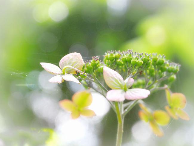 素敵な休日を… 山紫陽花 あじさい Flower Collection EyeEm Nature Lover EyeEm Best Shots Taking Photos EyeEm Gallery Eyemphotography 日だまり Green Nature Beauty In Nature EyeEm Best Shots - Nature
