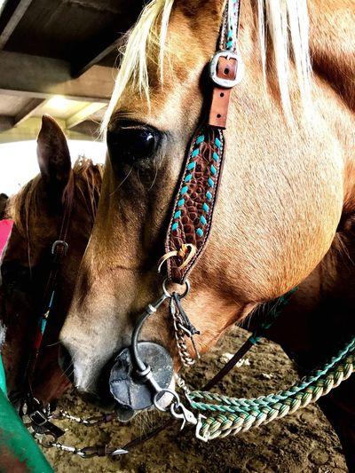Horseshow Horse