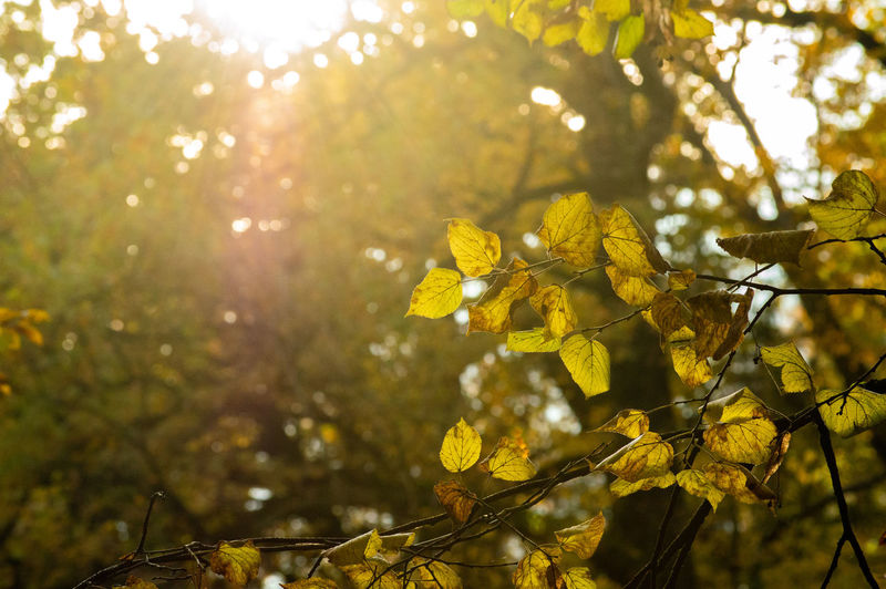 Close-up of yellow leaves on tree during sunny day