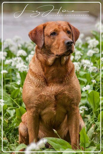 Rush - Kiltubird Rhapsody Cornwall Uk Labrador Fox Red Lab Trevear Photography Animal Themes Dog Canine One Animal