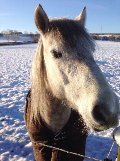 Vrackie Highland Pony Winter Morning Scotland