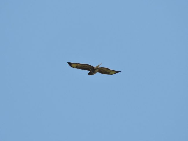 Avian Beauty In Nature Bird Blue Buzzard  Buzzard In Flight Clear Sky Day Flying Mid-air Nature No People Outdoors Sky Spread Wings Wildlife