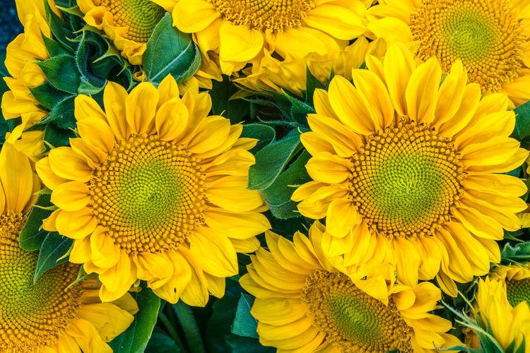 Full frame shot of yellow sunflower