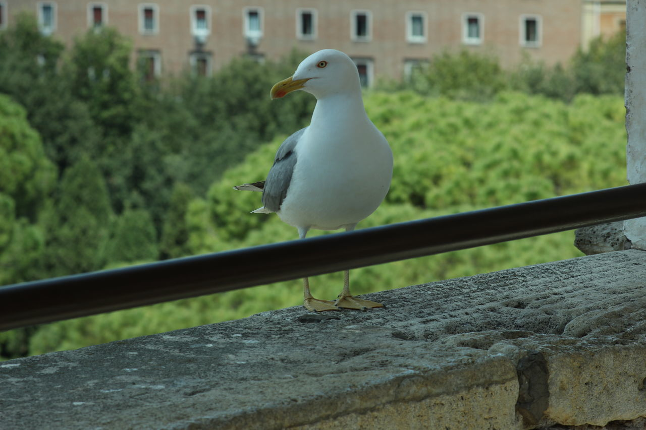 bird, animal themes, animals in the wild, perching, one animal, animal wildlife, focus on foreground, day, no people, outdoors, building exterior, close-up, architecture, retaining wall, built structure, seagull, nature, mourning dove