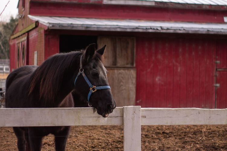 Animal Barn Horse Domestic Animals Animal Themes Mammal Built Structure One Animal Building Exterior Livestock Stable Outdoors