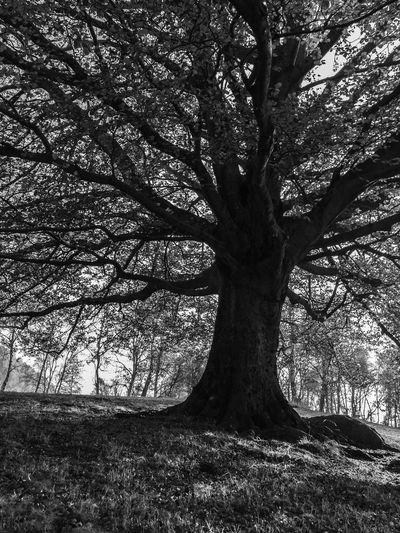 Trees 12688315 Blackandwhite Trees Black And White Black&white 🌳