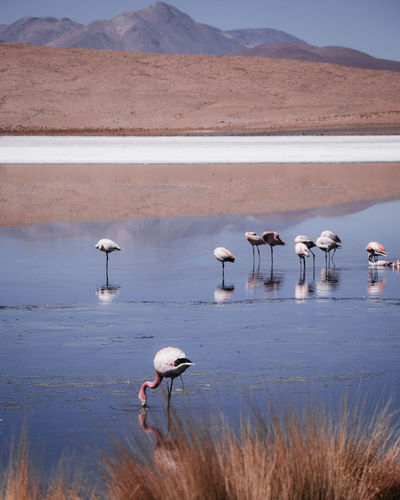 Flamingos in lake