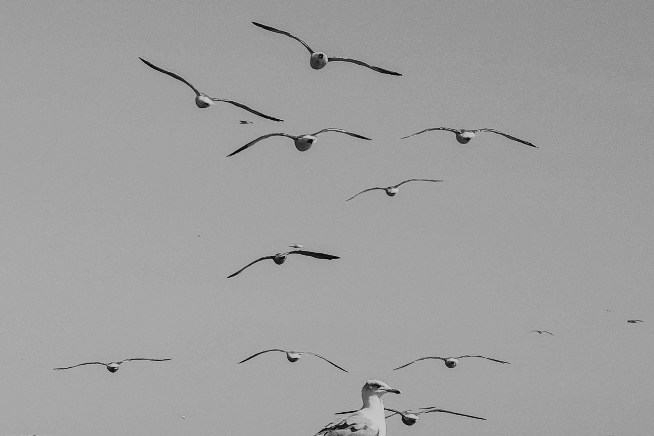animal themes, animal wildlife, animal, bird, vertebrate, animals in the wild, flying, group of animals, spread wings, low angle view, sky, no people, mid-air, flock of birds, nature, large group of animals, day, clear sky, beauty in nature, togetherness