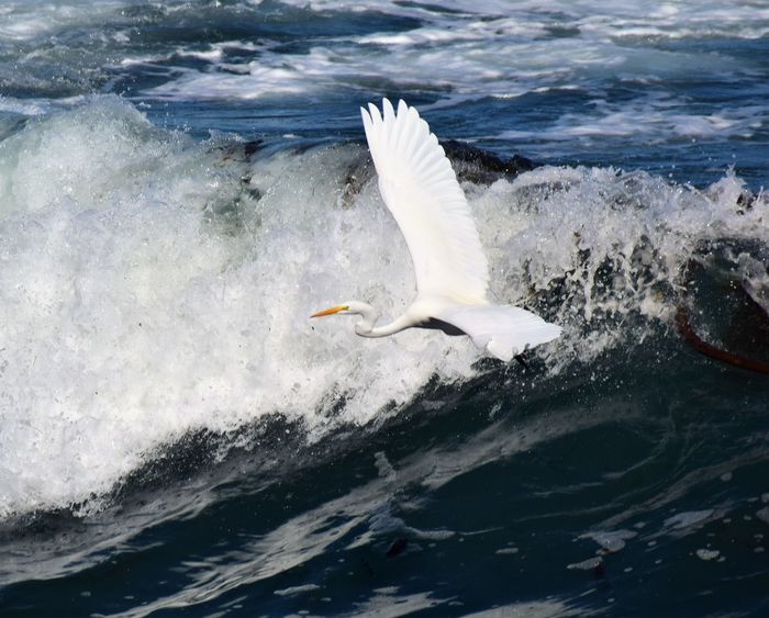 Surfing Heron Animal Themes Animal Wildlife Animals In The Wild Bird Bird Photography Birds Of EyeEm  Day Flying Heron High Angle View Inflight Motion Nature No People One Animal Outdoors Pacific Ocean Sea Splashing Spread Wings Swimming Water White Color Wildlife & Nature Wildlife Photography