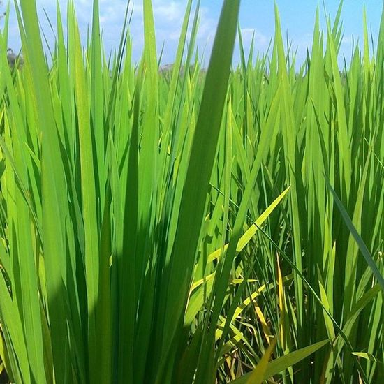 Growing rice fields Greatest Green Photodaily Photographysouls Practicedaily Practice Sukoharjo Jawatengah INDONESIA Indonesia_photography Awesome Moment Bluesky