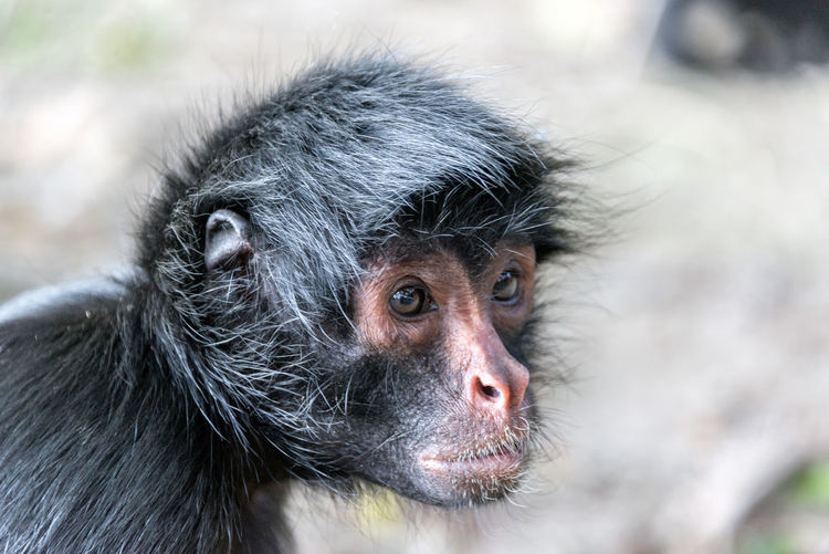 Close-Up Of Baby Monkey Against Blurred Background