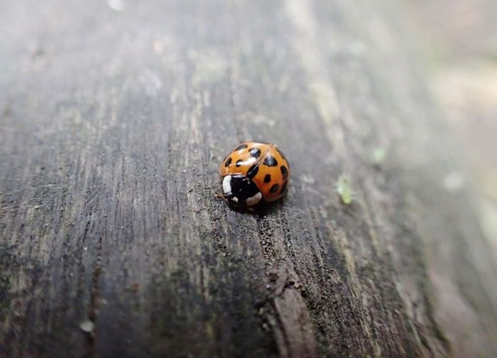 Ladybug Insect Animal Themes Animals In The Wild Spotted Close-up One Animal Beetle Nature No People Day Outdoors