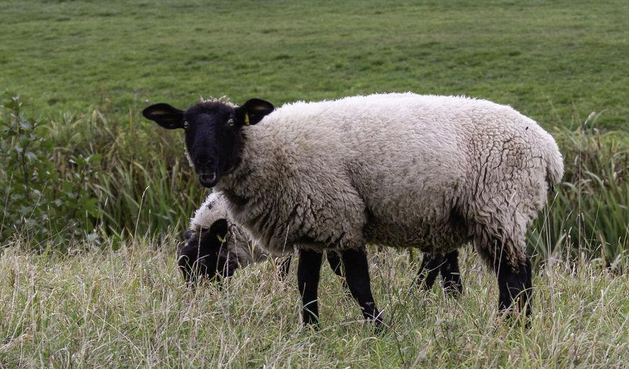 Animal Themes Grass Animal Mammal Outdoors Herbivorous Day Nature Sheep