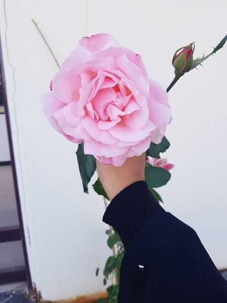 A rose for u S8Photography Rose - Flower Pink Rose Rose🌹 Saudi Arabia Rose Tree EyeEm Best Shots EyeEm Nature Lover Eyeemphotography EyeEm Saudi Arabia Pink Color One Person Adult Flower People Holding Nature Young Adult Day EyeEmNewHere