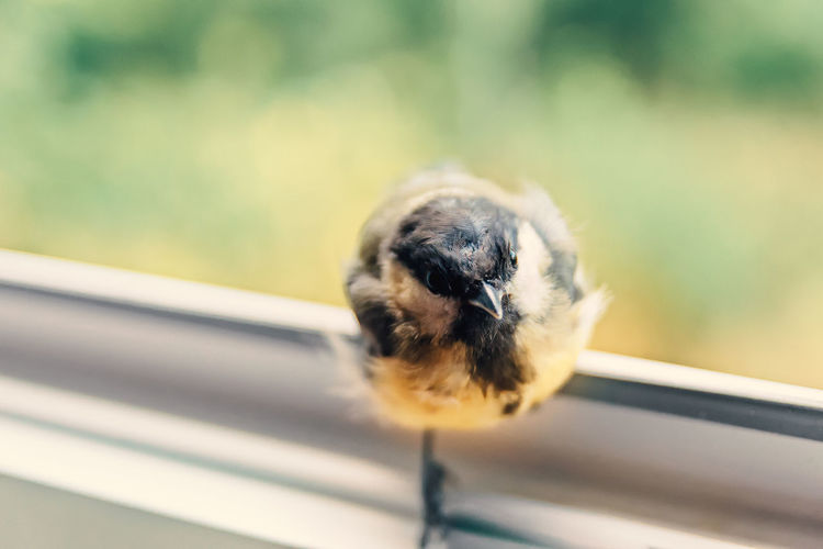 Hi, I stay at yours? / Chick sits by the open window and in no hurry to fly away. Animal Themes Animal Wildlife Animals In The Wild Bird Close-up Day Focus On Foreground Invasion Nature No People One Animal Outdoors Trust Pet Portraits