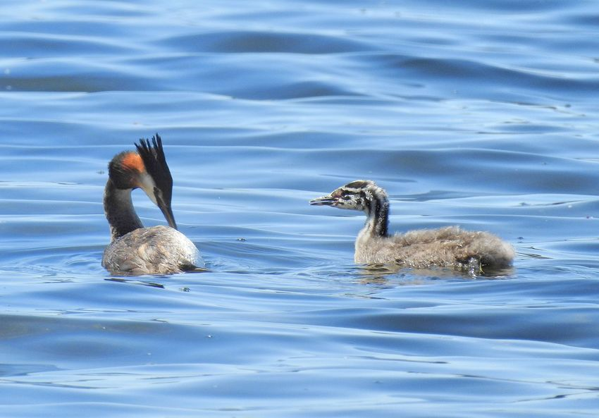 Animal Family Animal Themes Animal Wildlife Animals In The Wild Bird Birds_collection Crested Grebe Day Lake Nature Nature Photography Nature_collection Naturelovers No People Outdoors Rippled Swimming Togetherness Water Water Bird Water Surface Waterbird Waterfront Young Animal Young Bird