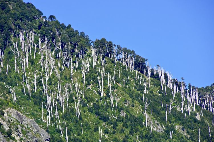 Panoramic view of trees on landscape against clear blue sky