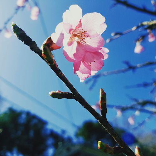 sakura Sakura Flower Flower Head Pink Color Springtime Close-up Sky Plant Cherry Blossom Cherry Tree First Eyeem Photo