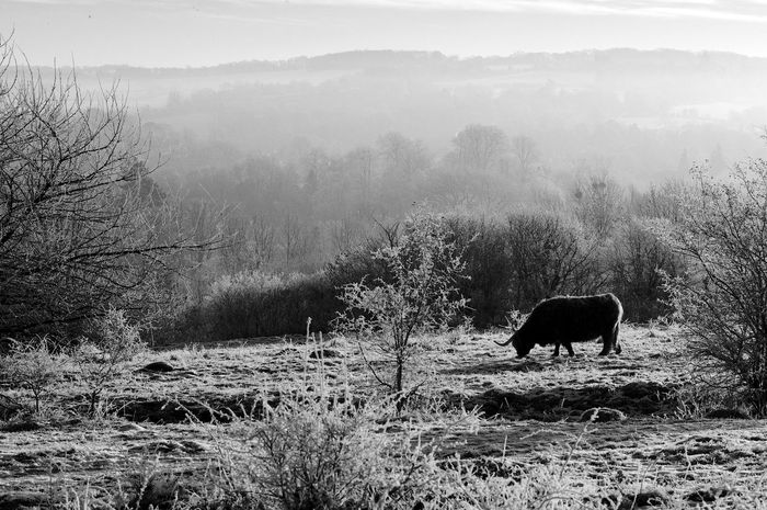 Grazing In The Misty Morning Black & White Otterbourne Animal Themes Animals In The Wild Beauty In Nature Blackandwhite Cow Domestic Animals Field Fog Grass Grazing Landscape Mammal Nature No People One Animal Outdoors Scenics Shawford Tree