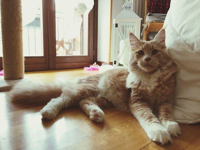 My love ❤️ Mainecoon Domestic Pets Domestic Animals Mammal One Animal Animal Themes Animal Domestic Cat Cat Feline No People