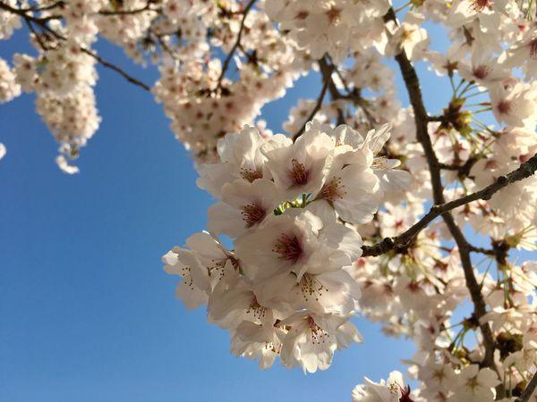 Cherry Blossoms Flowers Sky Spring Springtime Gongendo Park March 2018