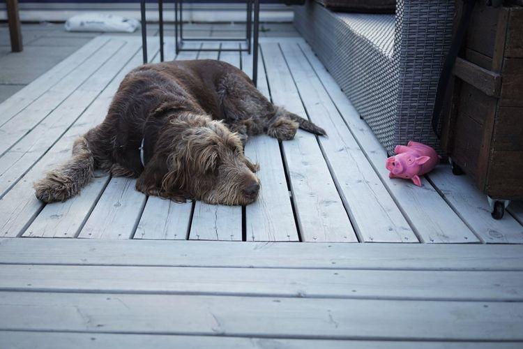 Dog resting on footpath